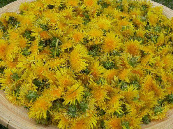 Harvesting Dandelion