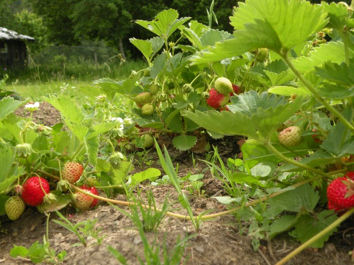 Strawberries Ripening to Perfection
