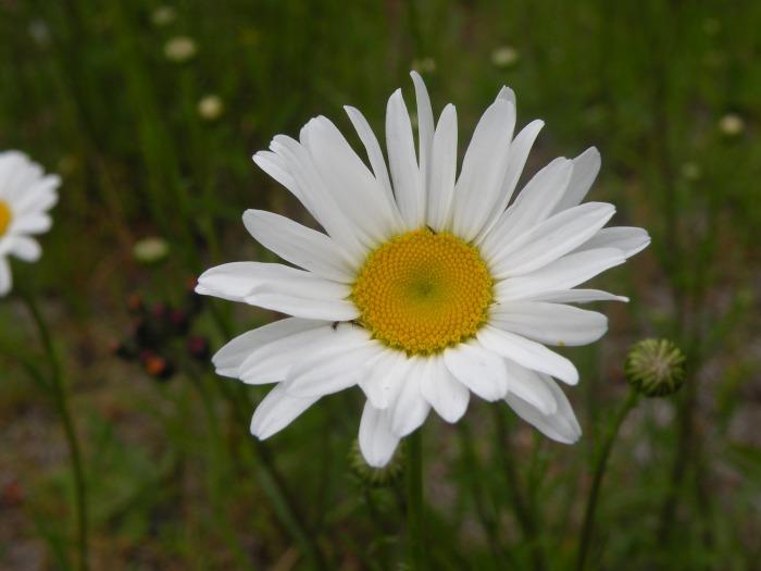 Charming Daisy