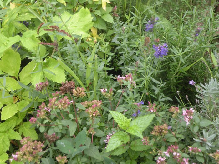 Hyssop, Angelica,Oregano Lavender and Rosemary