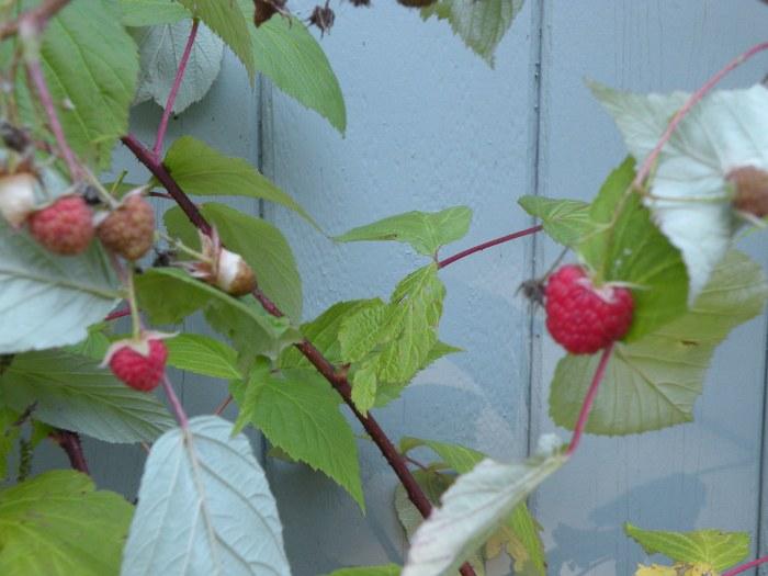 Last Raspberries