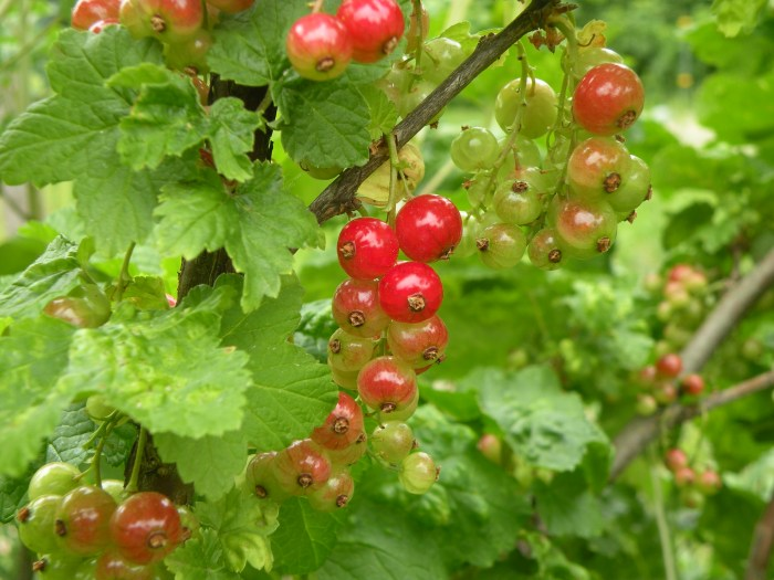 Red Currant Blushing