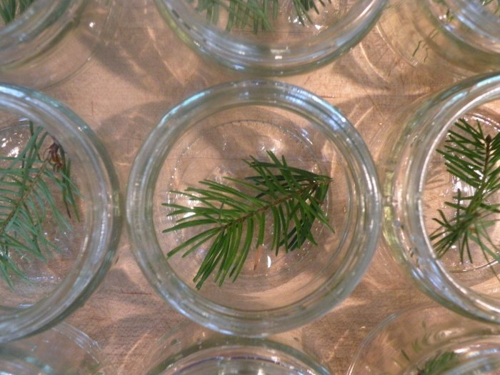 Douglas Fir Tips Le Meadow's Pantry