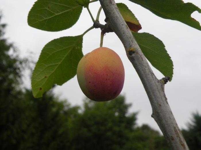 Lonely petite plum