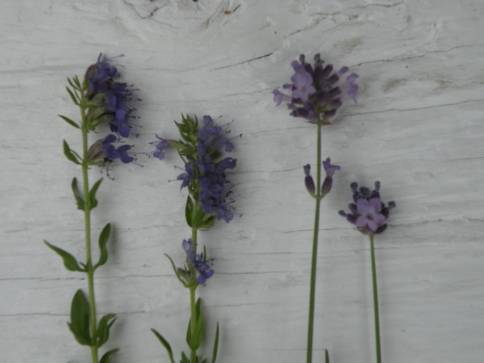 Lavender and Hyssop